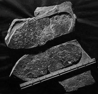 partial shoe sole in triassic